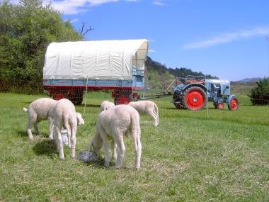 Planwagenidyll mit Schafen